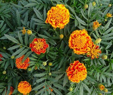 french-marigolds-2