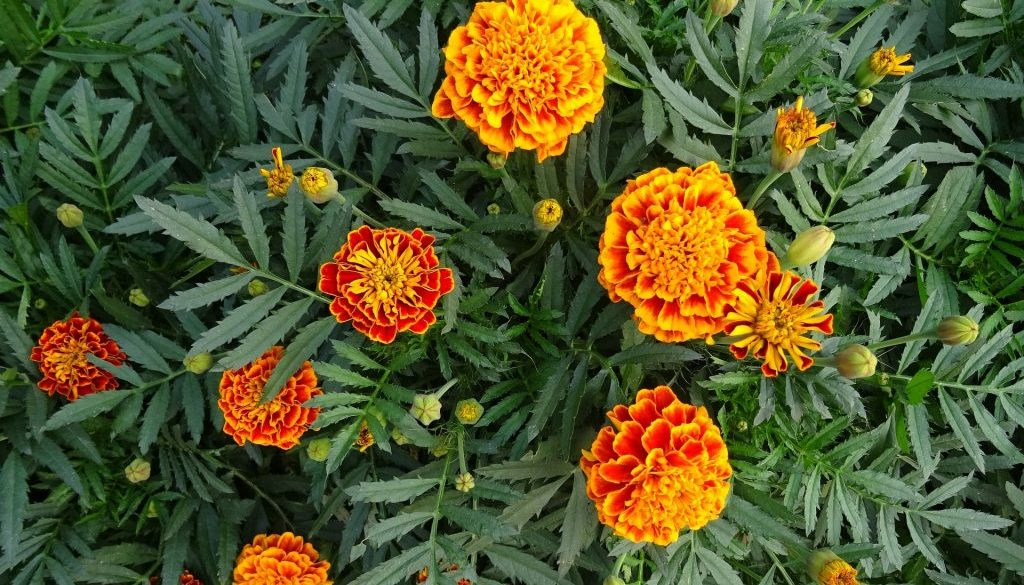 french-marigolds-2
